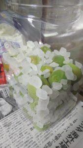 梅の実と氷砂糖をサンドイッチするように入れられた果実酒ボトル